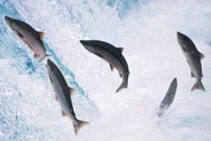 Salmon: a great fish to catch and eat